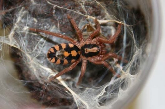 Hapalopus sp Colombia Big (3cm) - Pumpkin patch