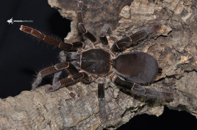 Hysterocrates gigas (1cm, 2.5cm, 4cm) – Cameroon Red Baboon