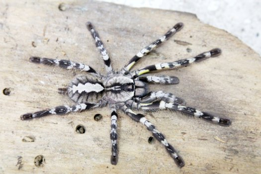 Poecilotheria regalis Female + Male (7.5cm) – Indian Ornamental