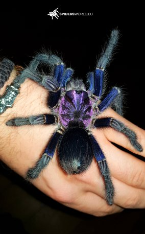 Phormictopus sp dominican purple (ex cautus) (2cm)